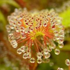 Drosera adelae dew macro