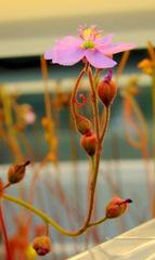 Drosera admirabilis (Ceres R.S.A) flower