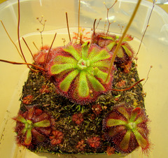 Drosera admirabilis (Ceres R.S.A) adult sundews with younger sundews in front of it