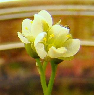 Drosera anglica (Kanaele Bog, Kaui, HI) flowers tropical