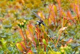 Drosera anglica with White-faced Darter sopping wet sphagnum in habitat at Mustasuo, Hausjärvi, Southern Finland.