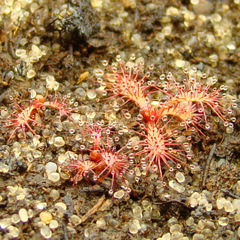 Drosera ascendens (Bandeira Peak), young seedlings