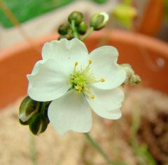 Drosera binata 'Marston Dragon' flower