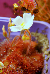 "Drosera sp. ""Lantau Island Hybrid"" in high resolution"