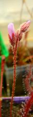 Drosera camporupestris with flower stalks