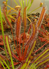 Drosera capensis 'Red form'