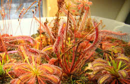 "Drosera capensis ""Red"" (center), D. capensis x spatulata (left) and D. capensis (Bains Kloof) (right) Cape Sundews"