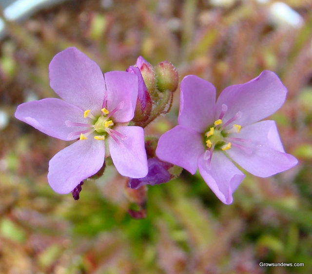 how to grow drosera capensis