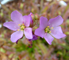 Drosera capensis (typical form) flowers