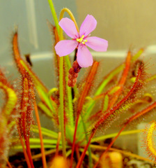 Drosera capensis &quot;Red&quot; flower - Red Cape Sundew flowering