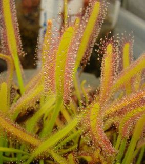Drosera capensis 'Albino'