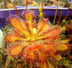 Drosera capillaris typical, flat rosette) in high resolution