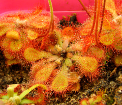 Black Humic acid on the crown of Drosera natalensis