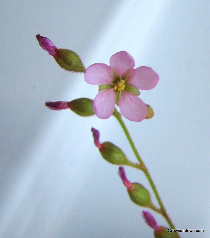 natalensis_flower-1.JPG
