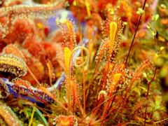 Drosera nidiformis with a flower stalk