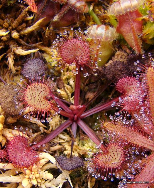 Drosera prolifera Prolifera_purple_large
