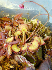 Drosera prolifera flowering