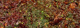Drosera capensis seedlings after 3 weeks