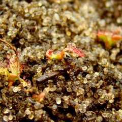 Drosera admirabilis root cuttings after 1 month
