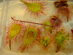 sundew leaf cuttings floating on water