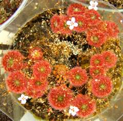 Pygmy sundew, Drosera 'Lake Badgerup'