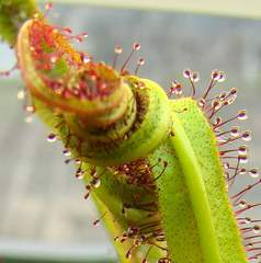 Drosera regia 'Big Easy' curls dramatically around prey