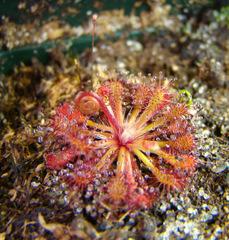 Drosera roraimae (Cerro Adua, Venezuela) , a South American sundew seedling