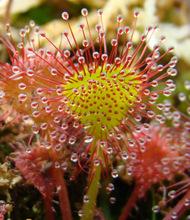 Drosera rotundifolia 'Charles Darwin' spoonleaf sundew hybrid