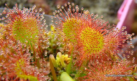 Drosera rotundifolia 'Charles Darwin'