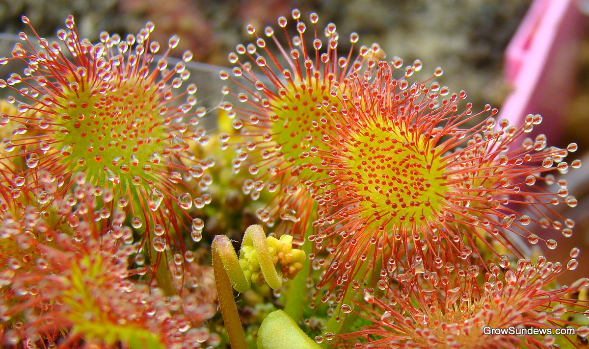 Sundew Flower Drosera Rotundi...