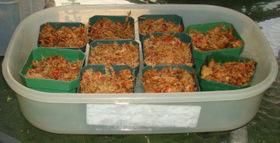 sundew Drosera seedling tray setup