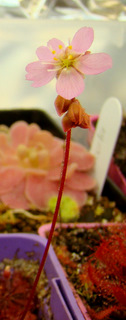"Drosera sp. ""Lantau Island Hybrid"" flower opening"