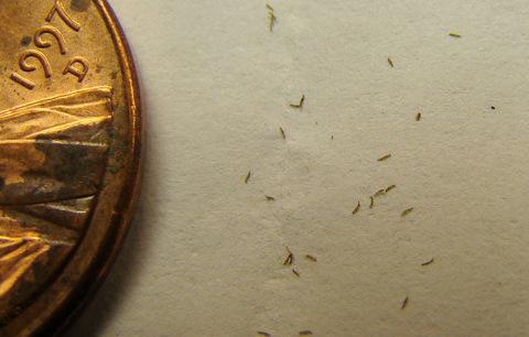 Drosera venusta seeds Elegant sundew seed