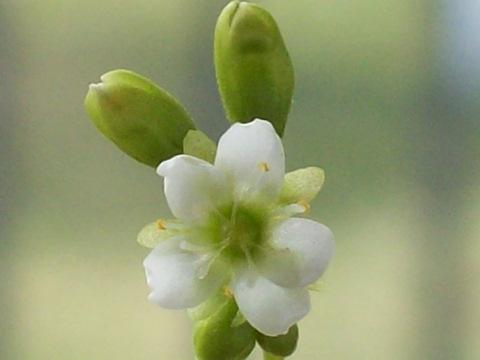 D. x obovata 'Ivan's Paddle' white flower